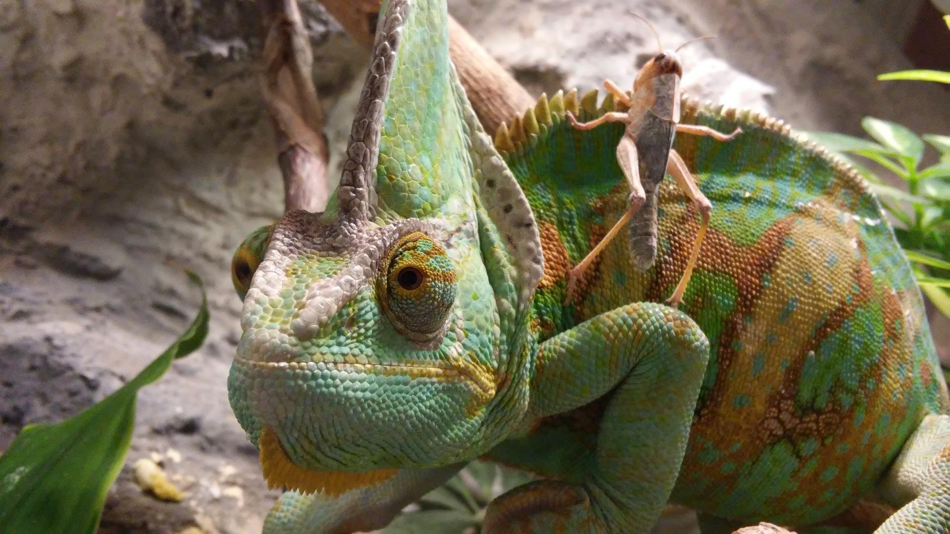 Chameleon, Heuschrecke, Fehler, Reptilien, wildes Leben, Screen Sie Green - HD Wallpaper - Prof.-falken.com