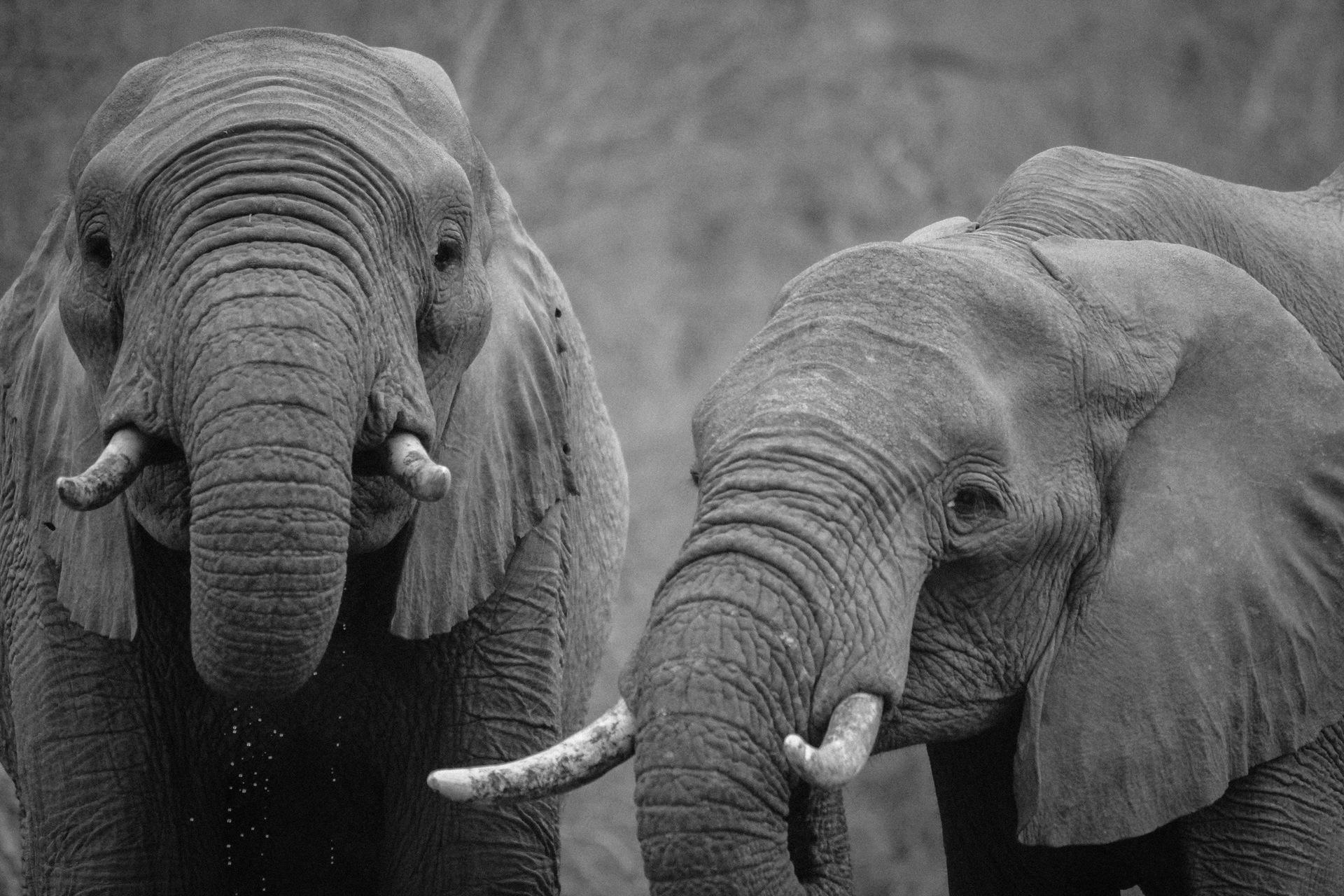 слоны, пара, Сафари, Африка, в черно-белом - Обои HD - Профессор falken.com