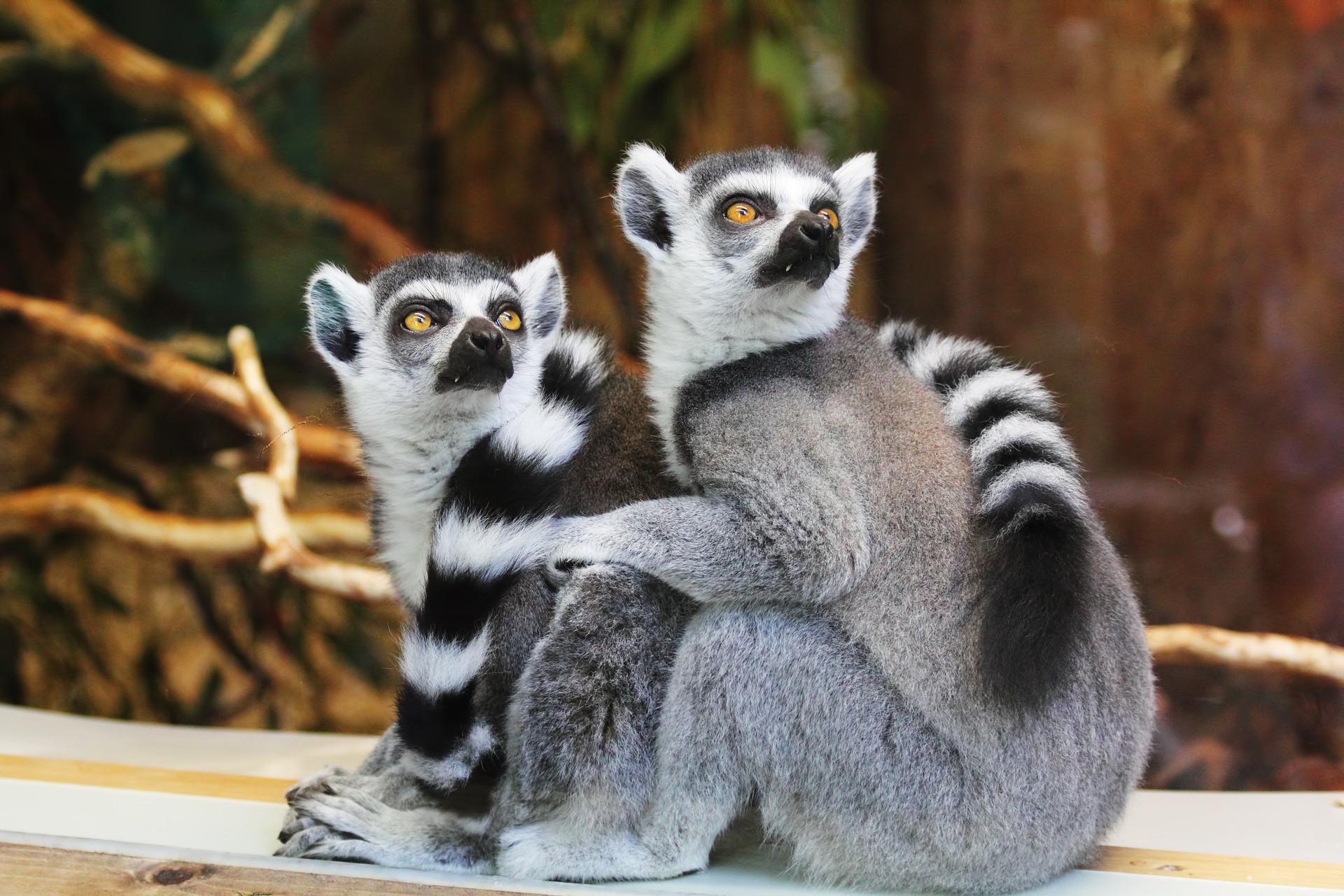 lemure, coppia, coda, reticolato, viso, stupore - Sfondi HD - Professor-falken.com