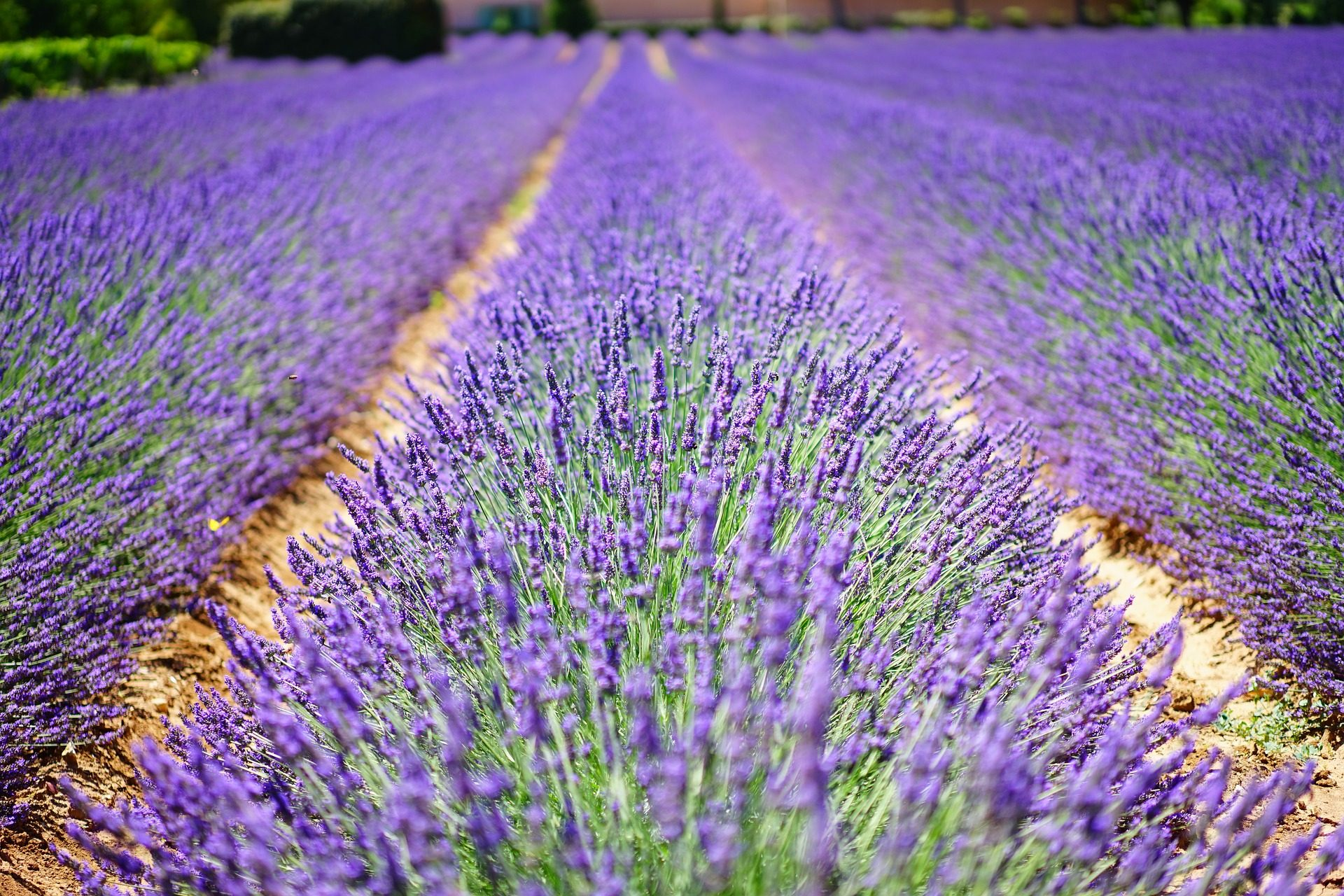 Lavande, domaine, Plantation, Purple, Violet - Fonds d'écran HD - Professor-falken.com