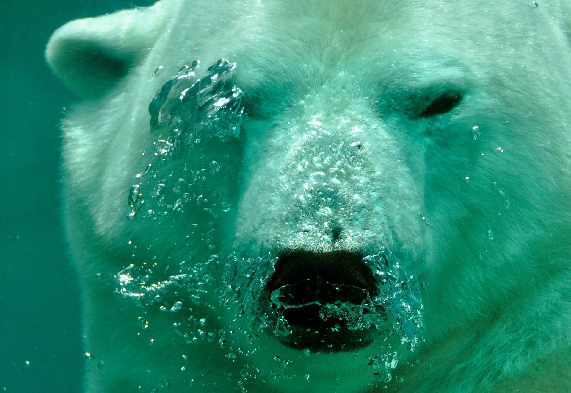 熊, polar, mamífero, 水, 水下 - 高清壁纸 - 教授-falken.com