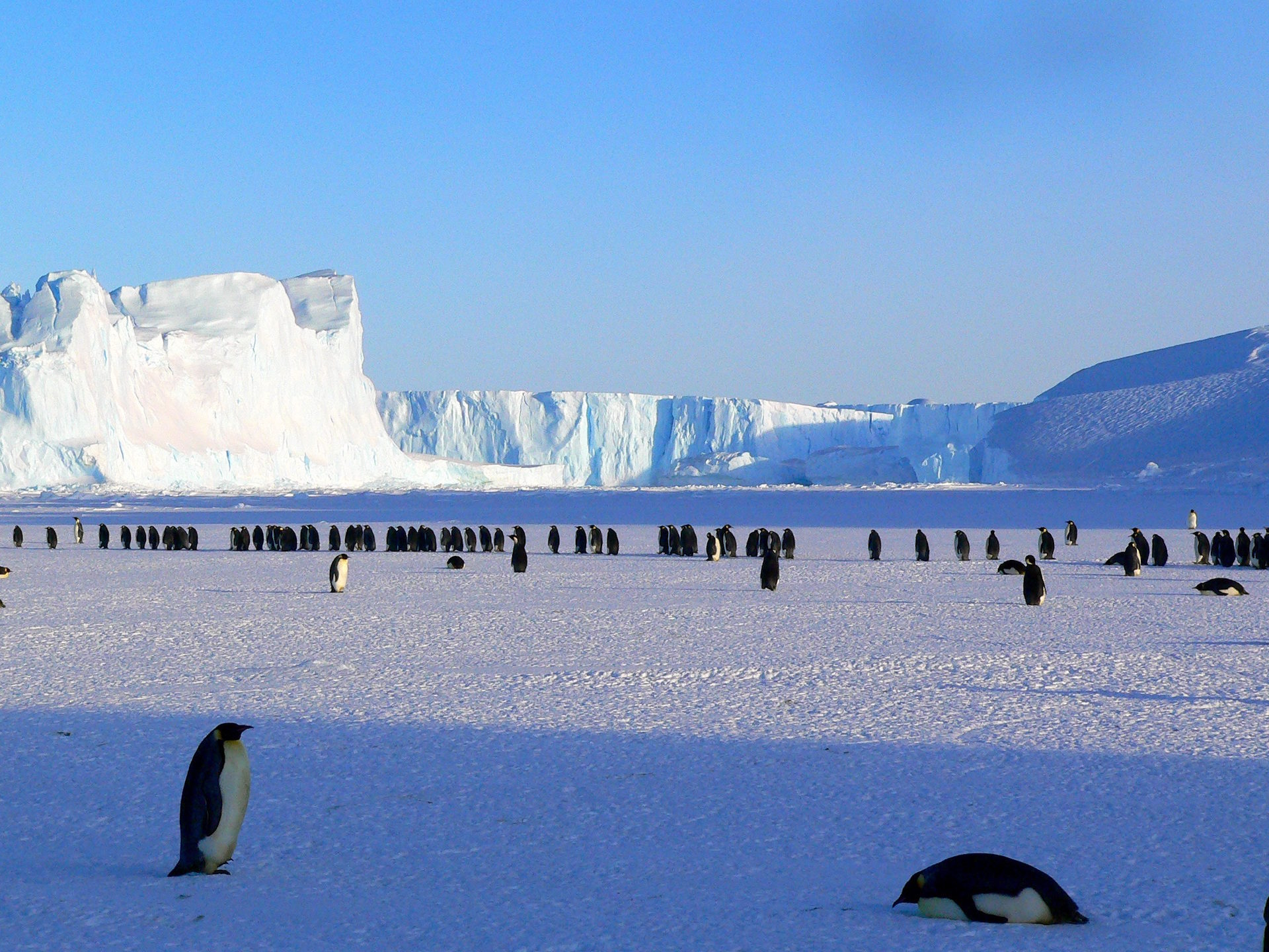 pinguinos, 皇帝, antartida, 冰, polar - 高清壁纸 - 教授-falken.com