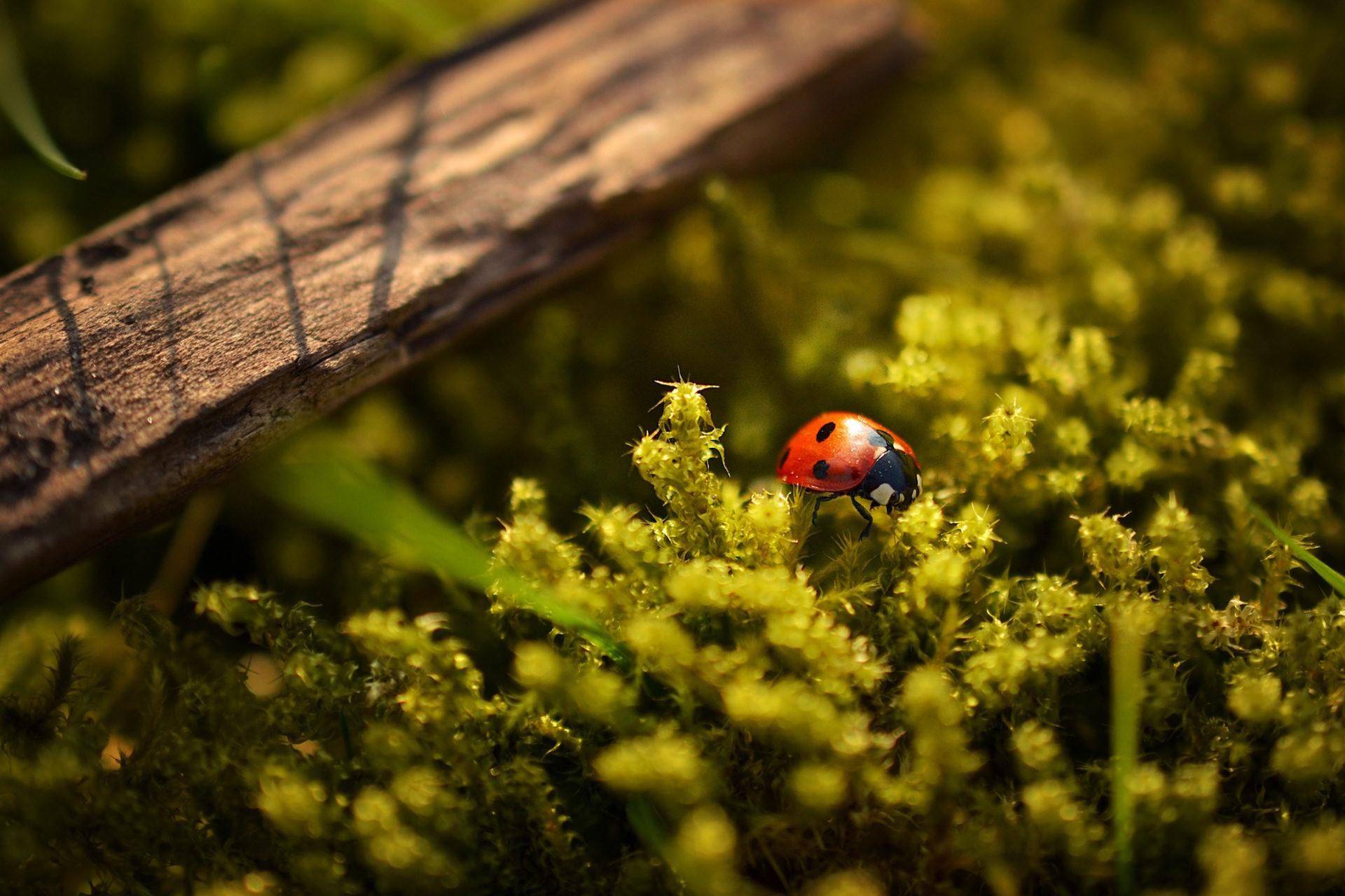 昆虫, mariquita, フィールド, 植物, 生存 - HD の壁紙 - 教授-falken.com