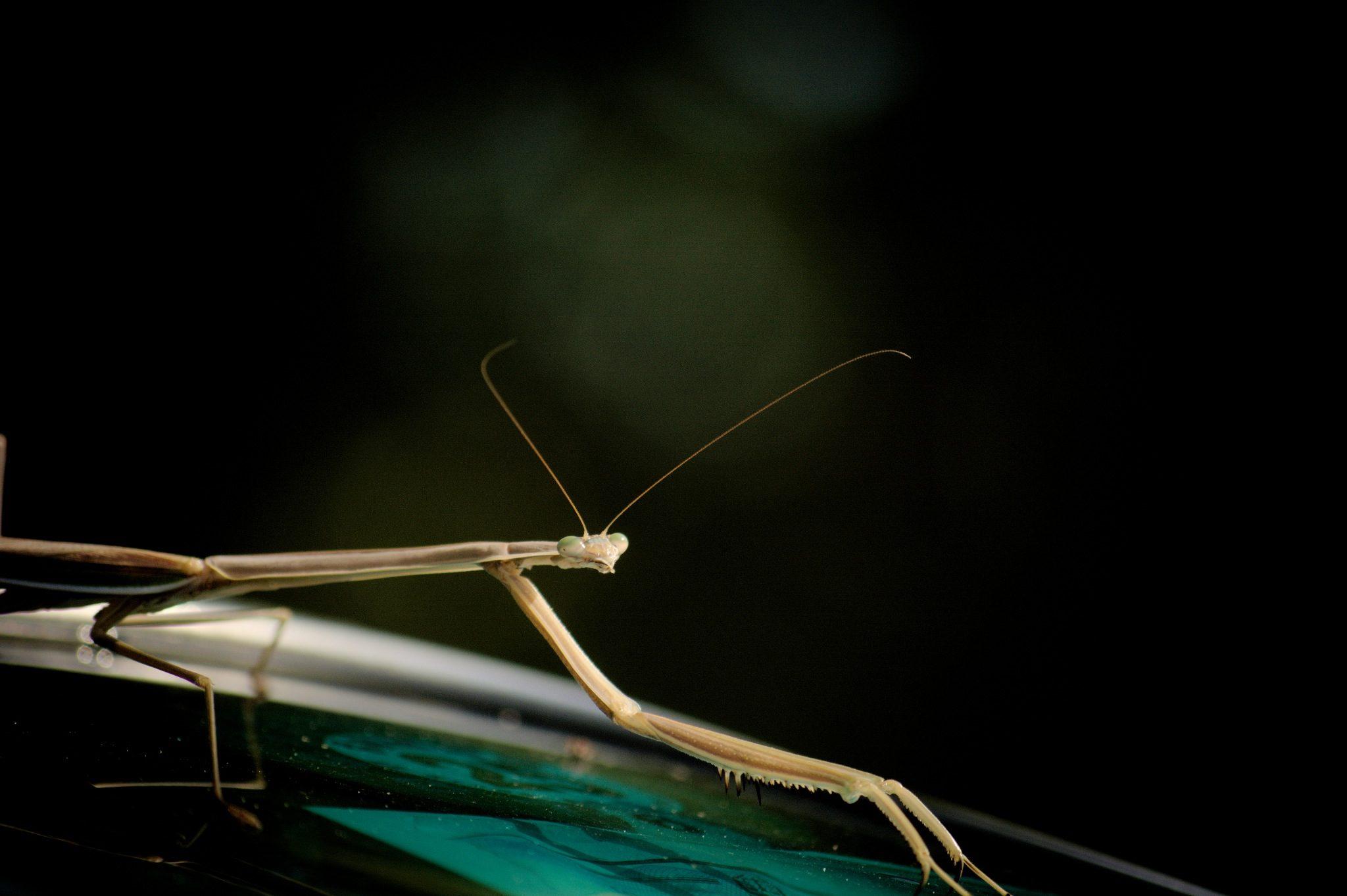 mantis, religiosa, insecto, bicho, antenas - Fondos de Pantalla HD - professor-falken.com