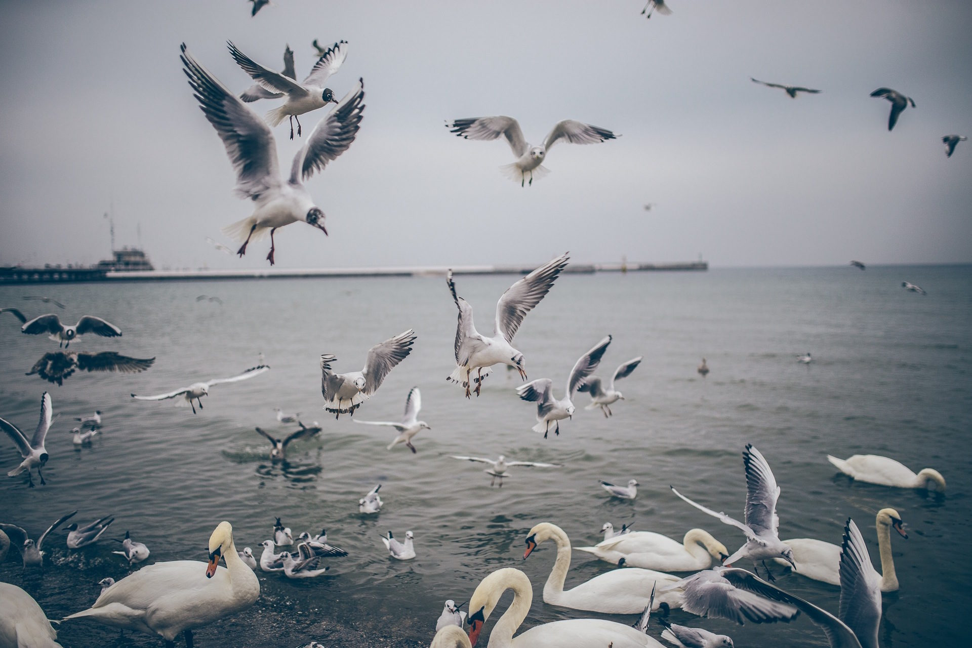 oiseaux, Cygnes, mouettes, eau, survie - Fonds d'écran HD - Professor-falken.com