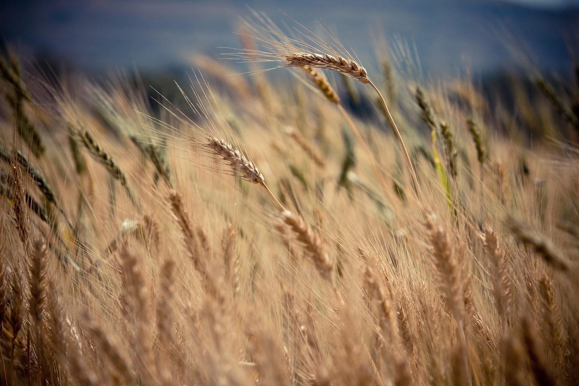小麦, フィールド, Pradera, 風, inclinación - HD の壁紙 - 教授-falken.com