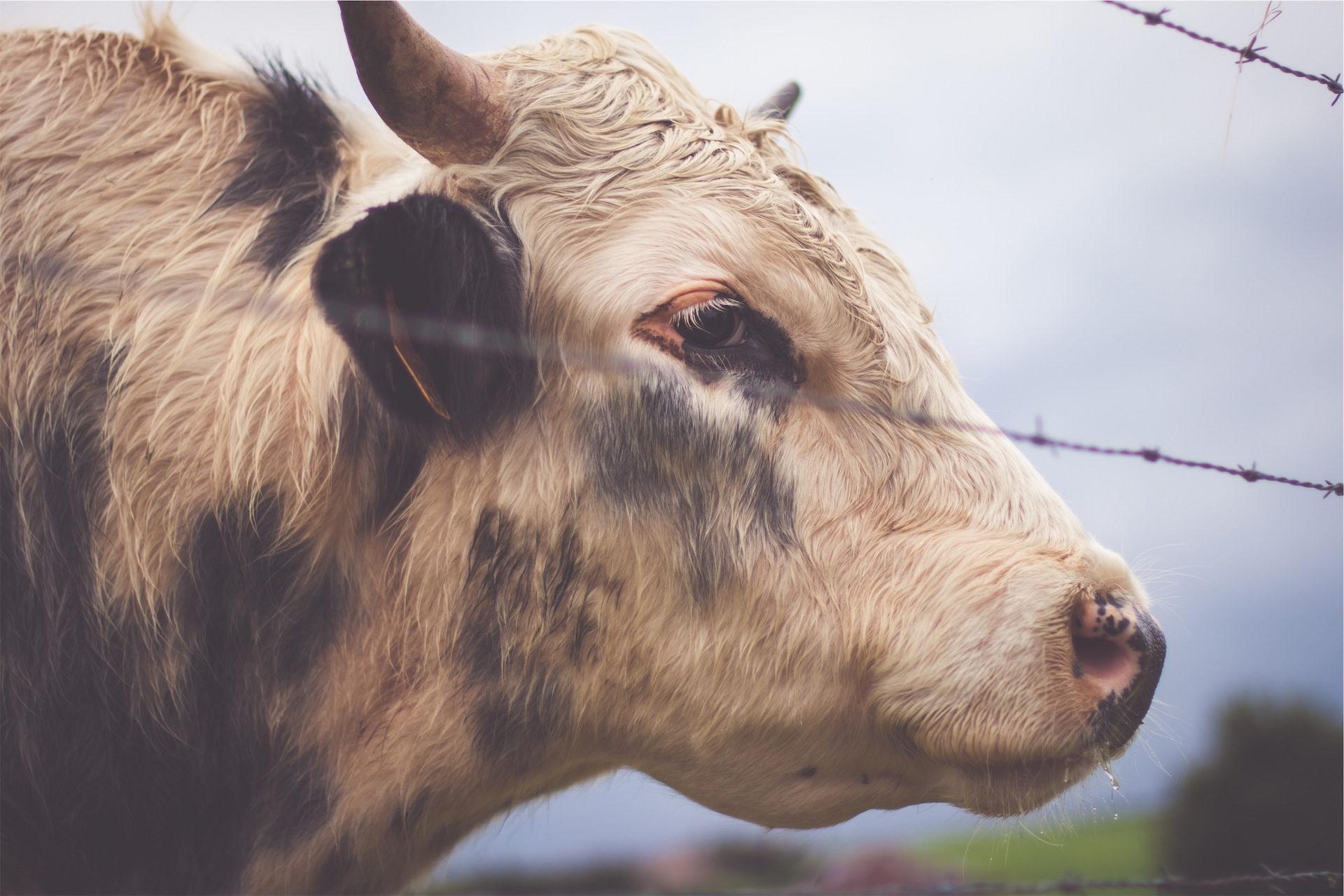 vaca, ternera, mirada, campo, valla - Fondos de Pantalla HD - professor-falken.com