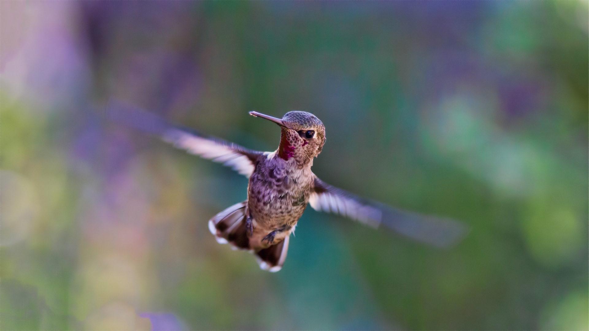 蜂鸟, 翅膀, 鸟, 飞, 鲨鱼鳍 - 高清壁纸 - 教授-falken.com