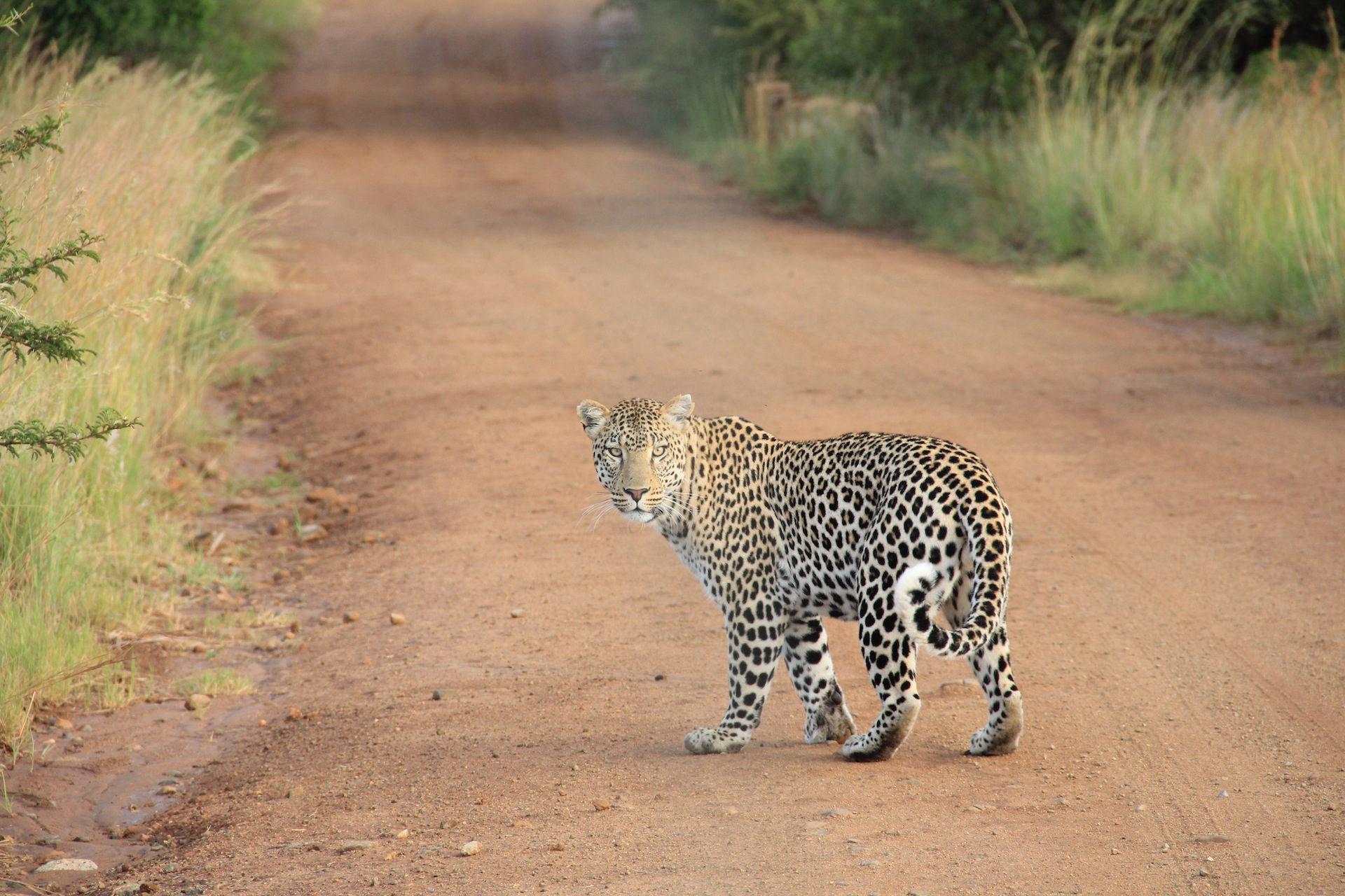 Λεοπάρδαλη, αιλουροειδών, Άγρια, Κοίτα, γούνα - Wallpapers HD - Professor-falken.com