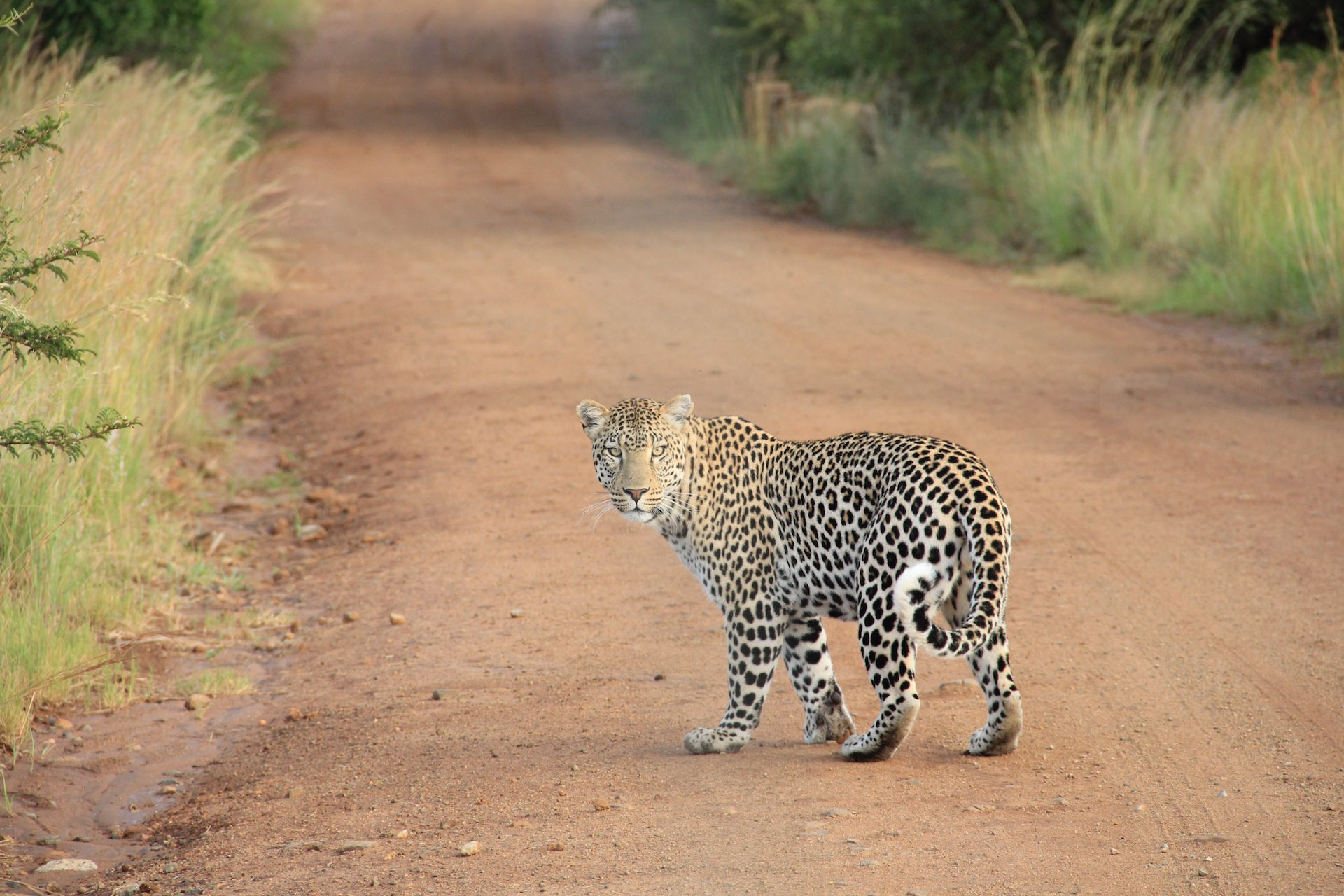 Leopard, felino, Selvagem, Olha, peles - Papéis de parede HD - Professor-falken.com