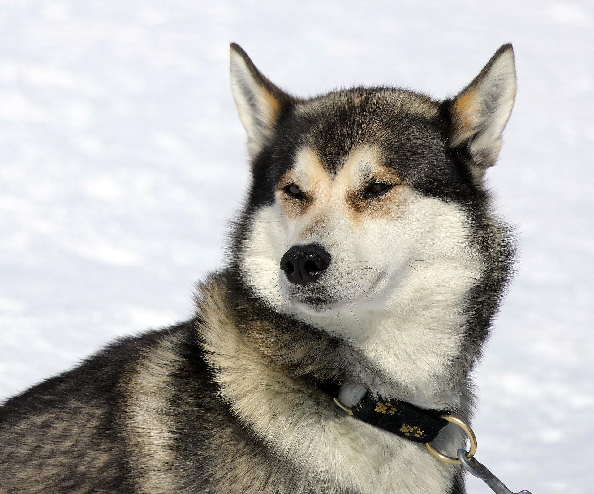 الكلب, صوت أجش سيبيريا, الفراء, الثلج, الجبال, الاسترخاء - خلفيات عالية الدقة - أستاذ falken.com